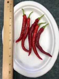 Spitfire de-hybridizing Strain C, Korean Hot Pepper by Amy Frances LeBlanc