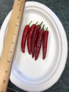 Spitfire de-hybridizing project Strain A, Korean hot pepper by Amy Frances LeBlanc