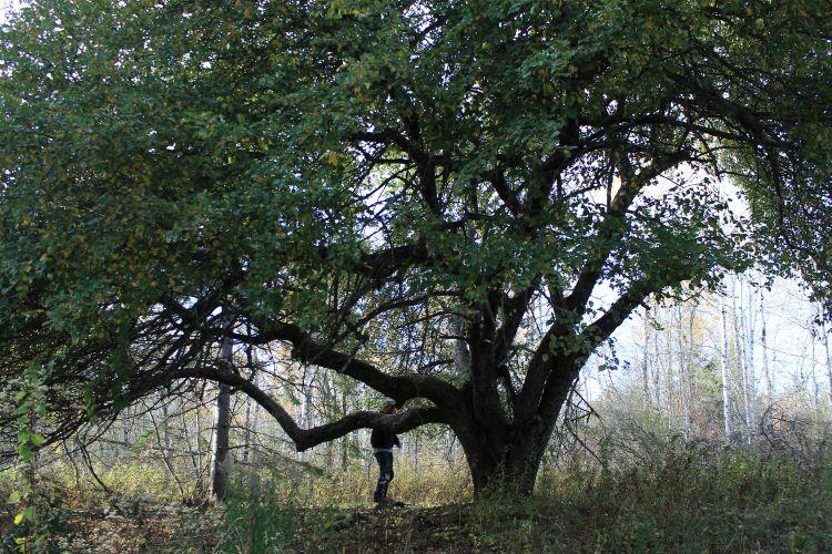 Grasslingstree