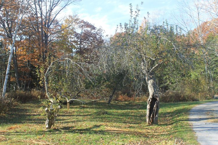 Northern+Greening+in+home+orchard