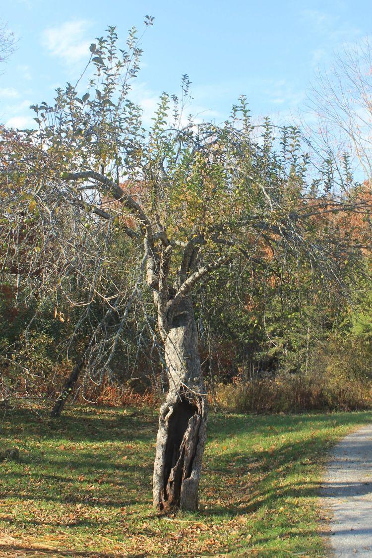 Northern+Greening+tree
