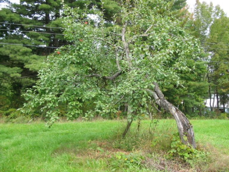 Wealthy(oldtree-mercer)