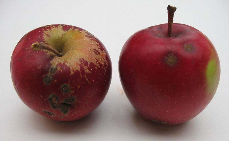 gano+2+fruit