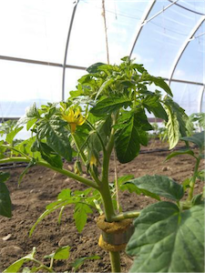 Tomato plant in hoophouse