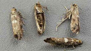 Leek moth adults