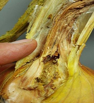 Leek moth damage to onion bulb