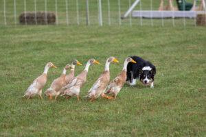 Border collie herding ducks